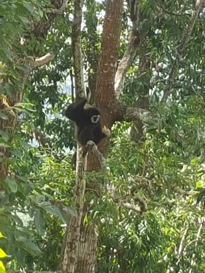 Spotted a gibbon!