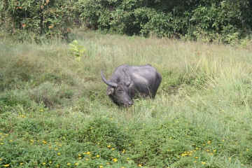 Water buffalo along the ride